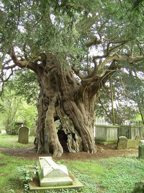 the crowhurst yew surrey one of the oldest trees in. Black Bedroom Furniture Sets. Home Design Ideas