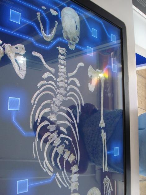 Ein Schaubild von Richards Skelett in der Guildhall-Ausstellung. Eigenes Foto.
