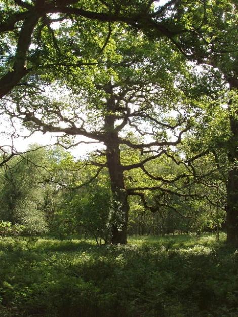 Eine Eiche im Park von Blenheim.   © Copyright David Hawgood and   licensed for reuse under this Creative Commons Licence.
