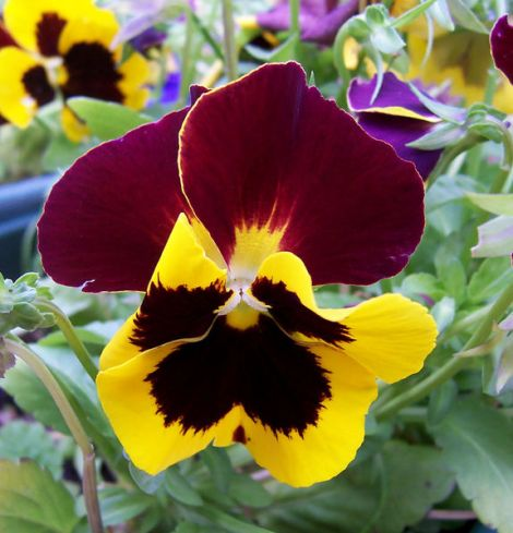A-kiss-behind-the-garden-gate oder Pansy. Author: Fir0002. This file is licensed under the Creative Commons Attribution-Share Alike 3.0 Unported license.