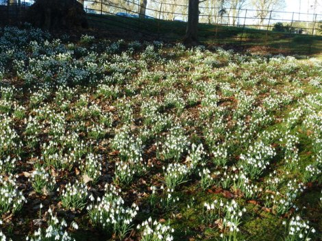 Colesbourne Park snowdrops.   © Copyright Ruth Sharville and licensed for reuse under this Creative Commons Licence.