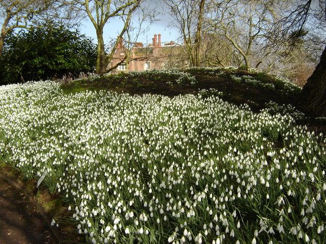 Schneeglöckchen in den Gärten der Hodsock Priory in Nottinghamshire.  © Copyright Martin Dawes and licensed for reuse under this Creative Commons Licence.