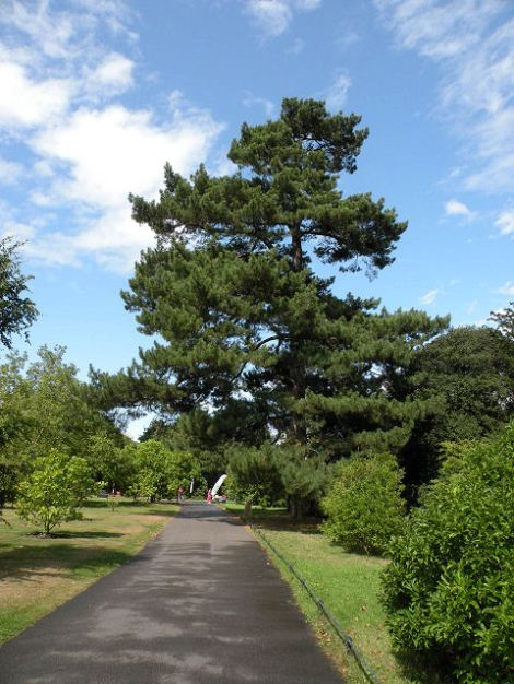 Die von Schicksalsschlägen heimgesuchte Kiefer in den Kew Gardens.  © Copyright Keith Edkins and licensed for reuse under this Creative Commons Licence.