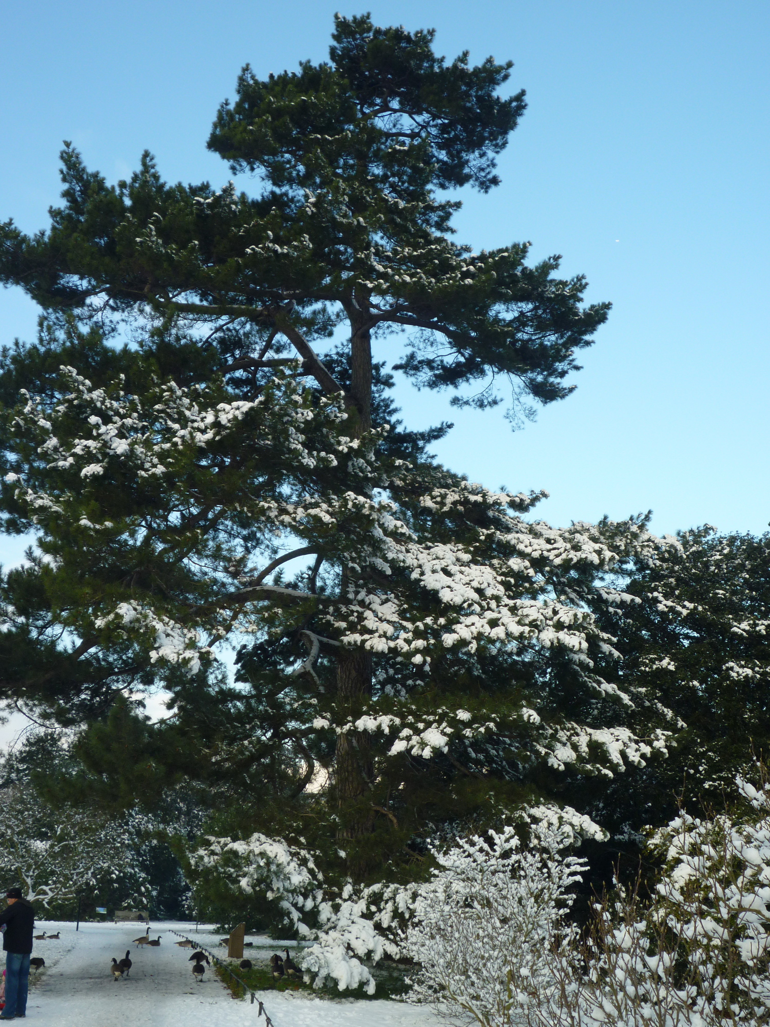 Die Corsican Pine im Winter. Author: Kew on Flickr. Creative Commons 2.0